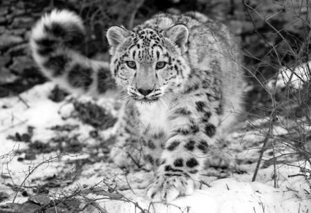 leopardo e1296162177473