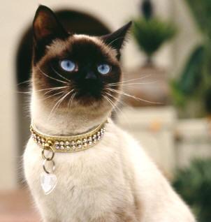 Razze di gatto: il gatto siamese