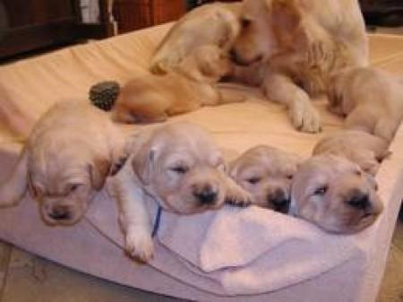 cane incinta e1304697217781