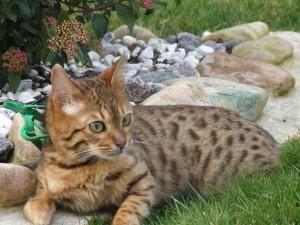 1266833875 75604906 1 Immagini di cuccioli di gatto bengala 300x225
