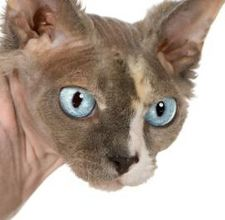article page main ehow images a08 40 7f types hairless cats 800x800