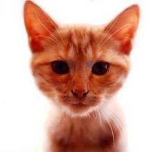 article page main ehow images a08 6l 0m orange tabby cat behaviors 800x800