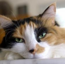 Quali Razze Di Gatto Possono Avere Una Colorazione Calico Notizieit