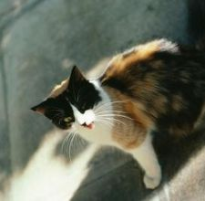 article page main ehow images a08 91 cv longhaired calico personality characteristics 800x800