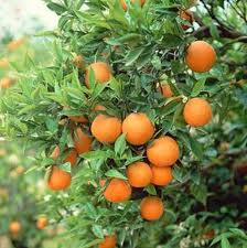 Danni da congelamento delle piante di agrumi for Piante di agrumi vendita