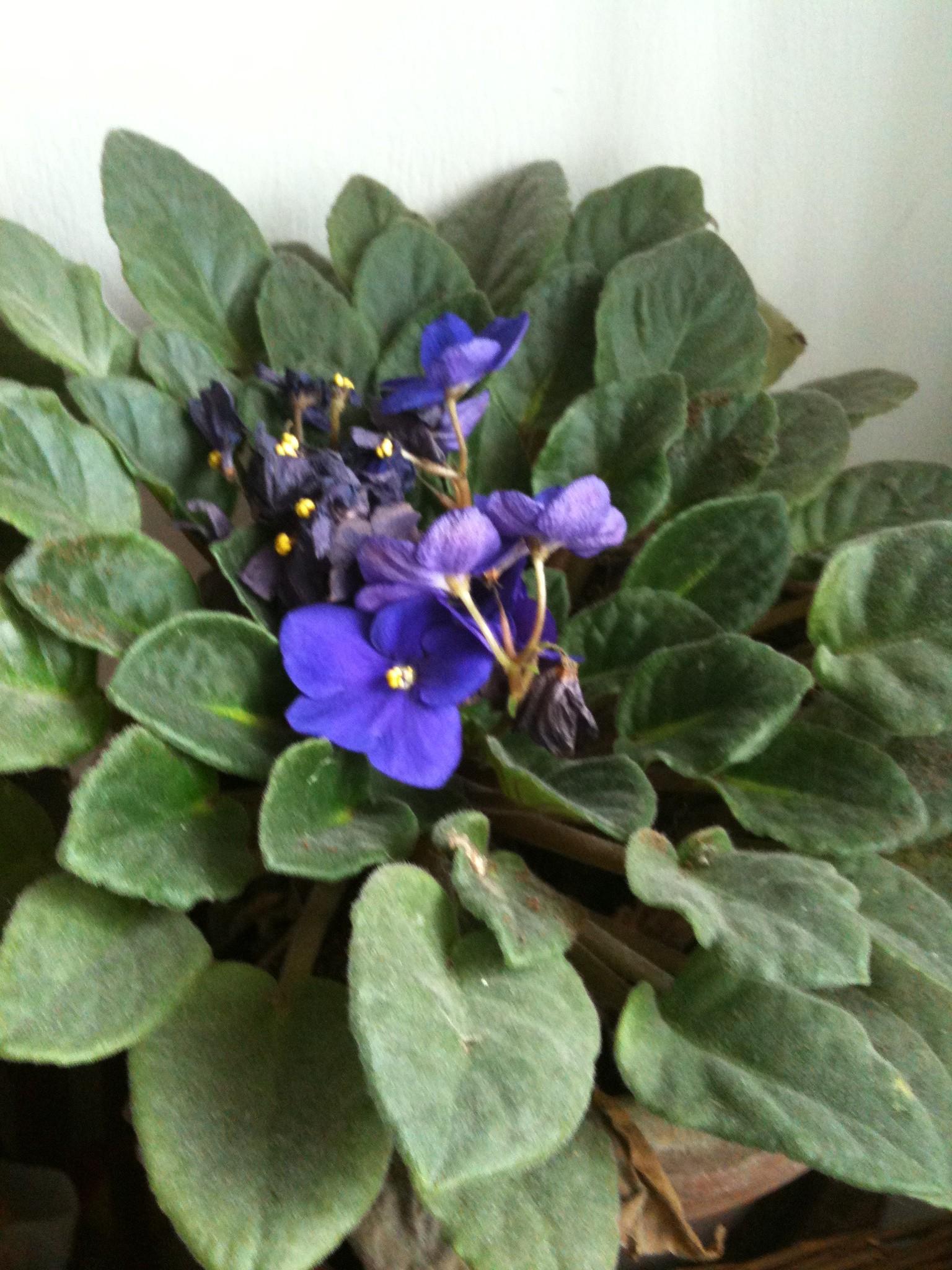 Come coltivare la violetta africana for Cloro nelle piscine