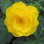 begonia 150x150