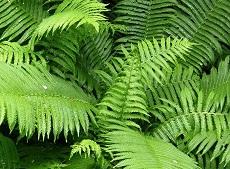 felce pianta depura aria1