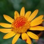 arnica fleurs 150x150