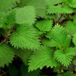 stinging nettles side effects 800x800 150x150