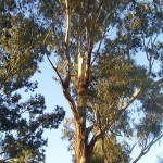 allergy symptoms eucalyptus pollen 800x800 150x150