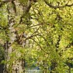 tree pollen end 800x800 150x150