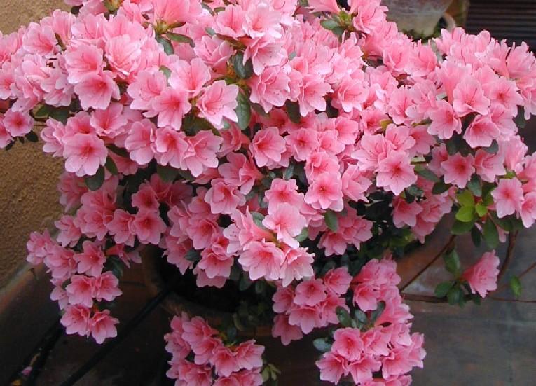 Come curare una pianta di azalea - Azalea foglie ...