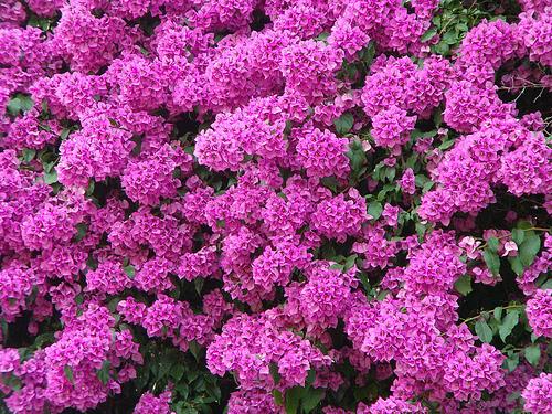 Come mantenere fiorita la bougainvillea for Cespugli fioriti da giardino