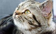 Ipervocalizzazione gatto
