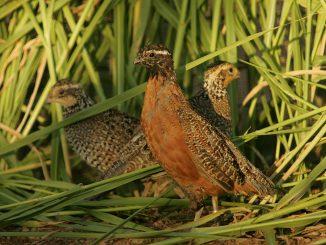 uccelli che nidificano a terra