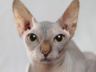 gatti senza pelo