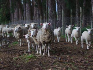 pelle di agnello