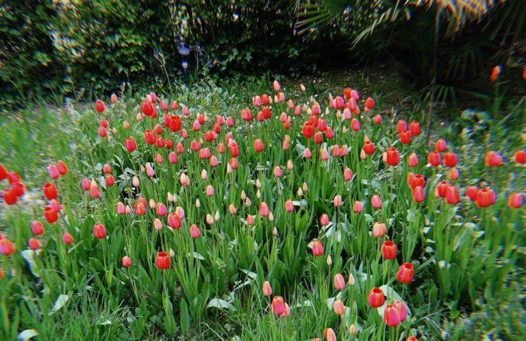 Tulipani potaturaTulipani potatura
