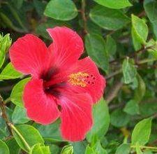 article page main ehow images a04 ia 6o make hibiscus tea 800x800