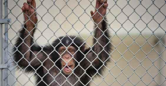 scimpanz nyt