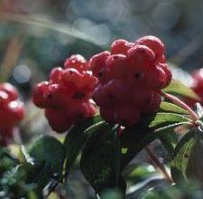 article page main ehow images a07 qp de preserve elderberries 800x800