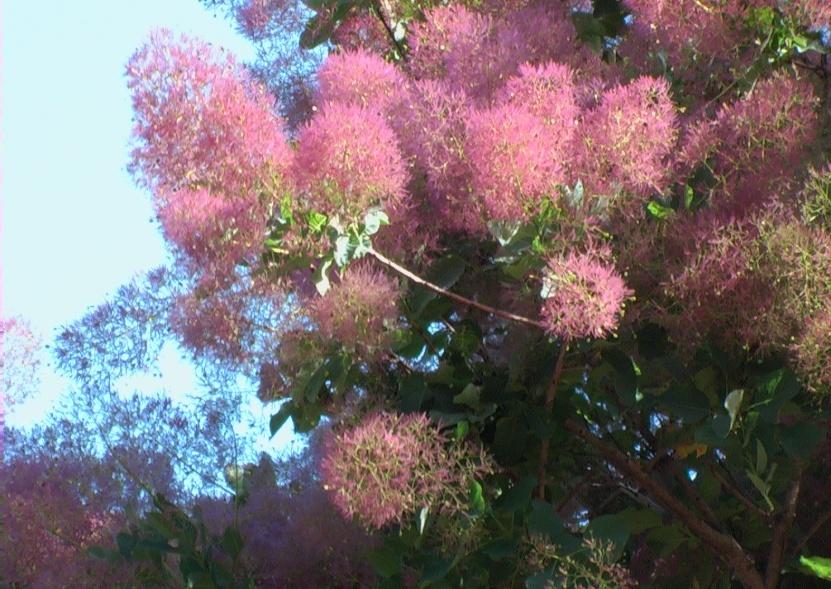 Alberi ornamentali viola - Alberi da giardino con fiori ...