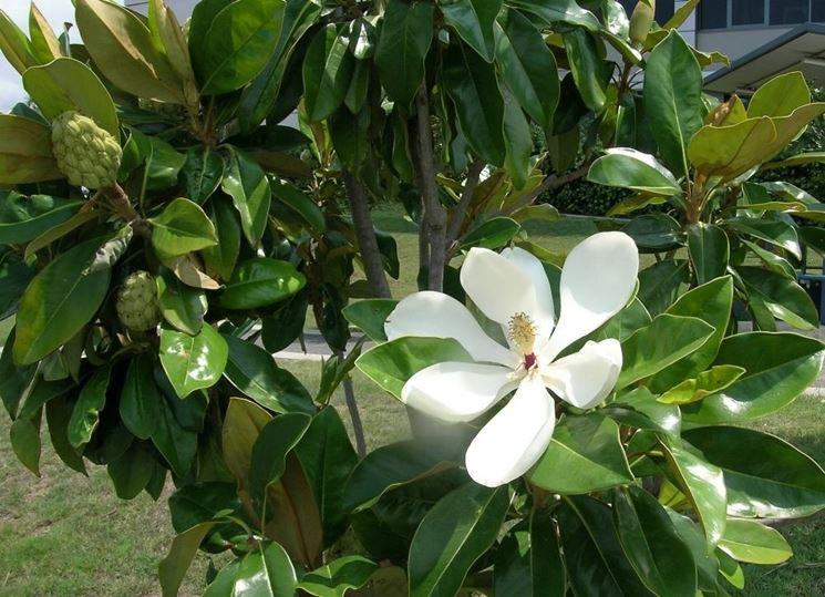 Come prendersi cura della magnolia for Magnolia pianta prezzi