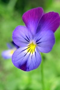 article new ehow images a07 e7 o0 eat wild violets 800x800