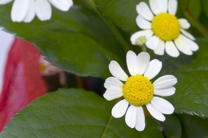 article new ehow images a00 00 9qchamomile 800x8002