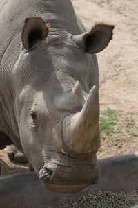 horn rhinoceros considered aphrodisiac  800x800