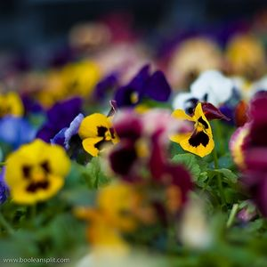 meaning pansy flower  800x800