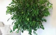 pianta di ficus b 185x115