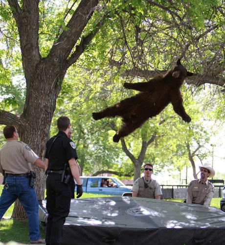 A bear falls from a tree 001