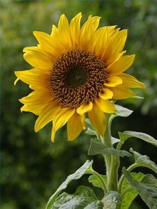 article new ehow images a04 nj ib until sunflower seeds ready pick 800x800