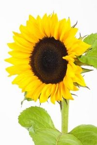 article new ehow images a07 1c pl sunflower seeds taken sunflowers 800x8001