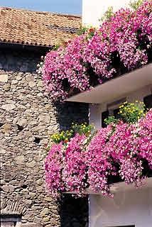 Come piantare le petunie for Surfinia balcone