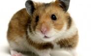 HamsterREX 468x362 185x115