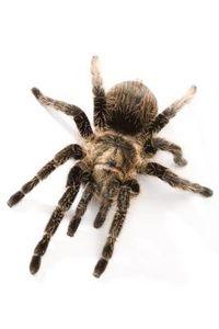 article new ehow images a08 af k0 biggest spider species 800x800