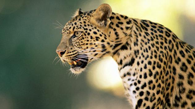 gty leopard nt 121106 wmain