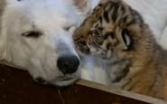 dog tiger cub bbc 185x115