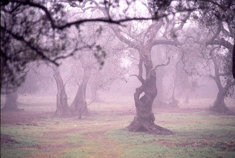 Ulivi nella nebbia