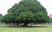 alberi-monumentali_O2