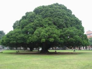 alberi monumentali O21 300x225