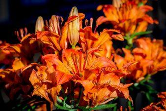 lilium arancio
