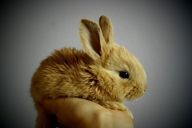 Il coniglio animale domestico