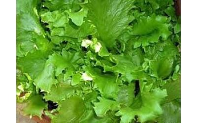 youfeed-germania-allarme-per-l-insalata-veleno-topi-in-verdura-da-italia