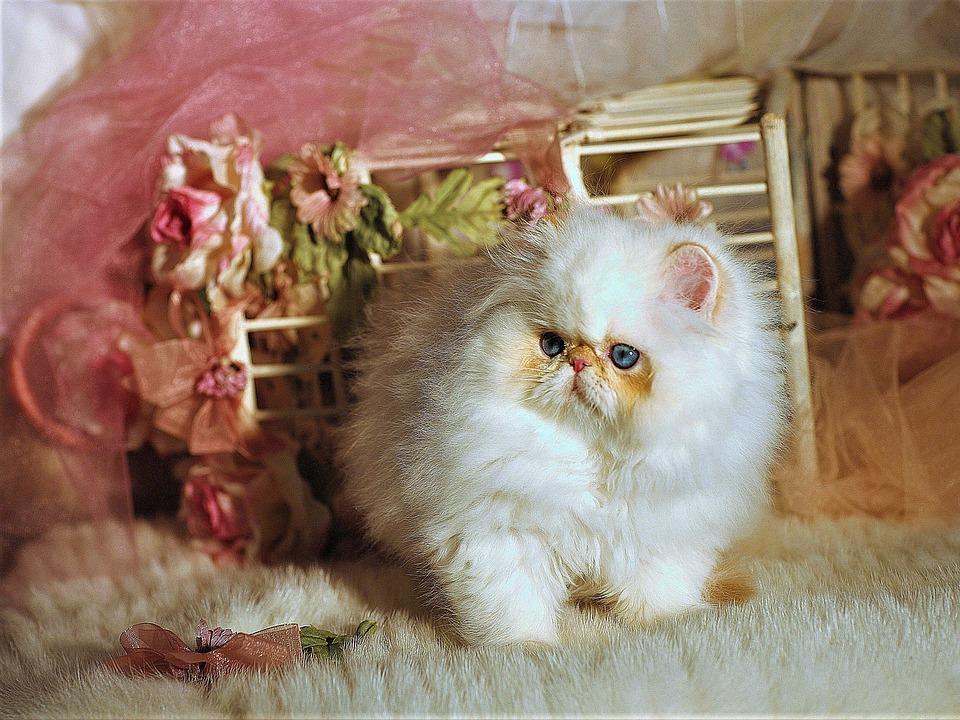 La Razza Di Gatto Più Piccola Del Mondo