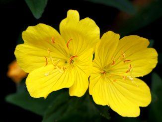 fiori notturni