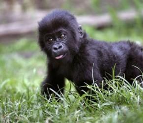gorilla e1357131486766 291x250